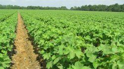 cotton-farming