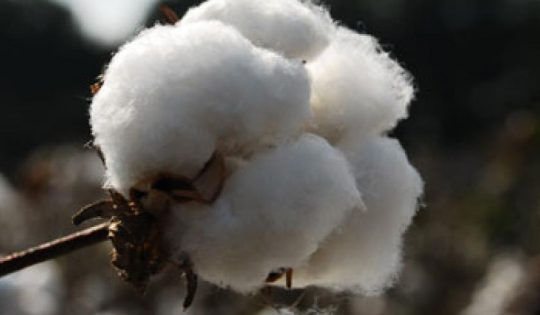 cotton_closeup
